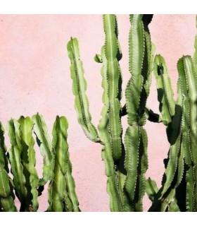 Bougie Parfumée Cactus Oasis 2