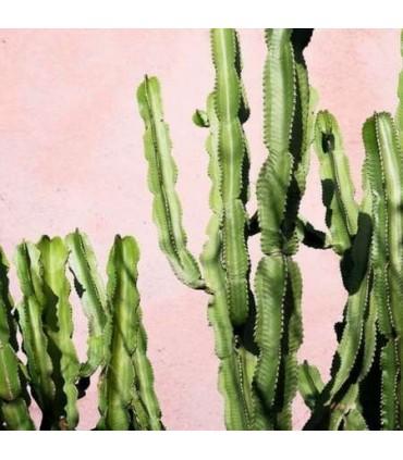 Recharge Bouquet Parfumé Cactus Oasis